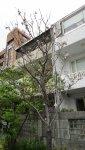 陽明醫院路上的櫻花樹