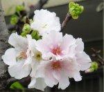 陽明醫院路上櫻花樹的櫻花特寫