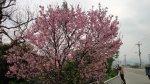 洲美街的櫻花樹