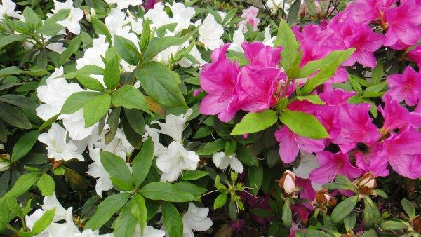 盛開的杜鵑花