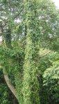 牽牛花爬樹形成如瀑布般的景象, Part II.