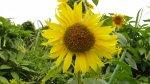 向日葵已經開始盛開了