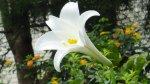 台灣野百合的花朵近拍