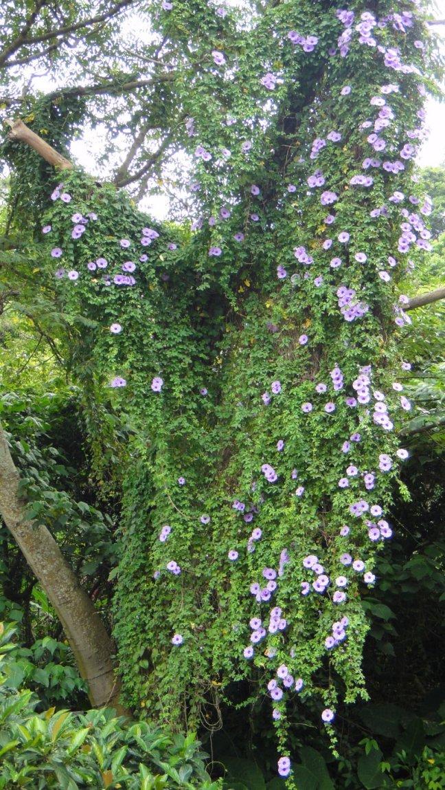 攀爬在樹上一整片的牽牛花盛開著