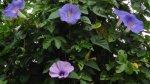 藍色和藍紫色的牽牛花