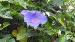 極少見到的藍紫色牽牛花